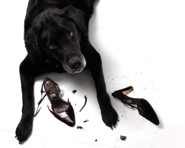 labrador retriever chewing high heel shoes
