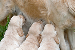 golden retriever puppies nursing